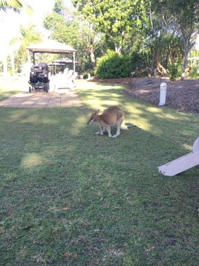 The Couran Bay Resort had wallabies everywhere!
