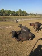Water buffalo galore