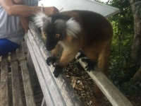 Lemurs were tame and cool