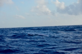 Look closely to see the smiling pilot whale after trick!